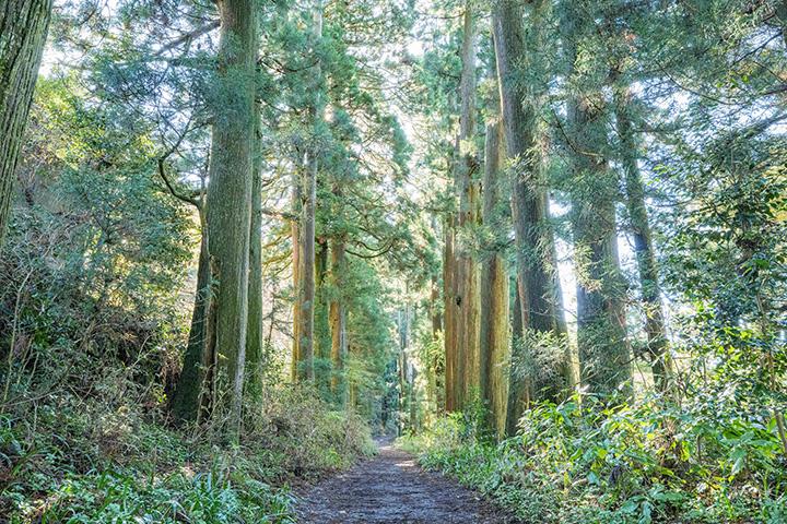 散歩道として人気の高い芦ノ湖畔の杉並木。樹齢およそ400年の杉の中を石畳が通る