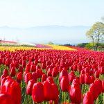 春の阿蘇エリアで花巡り。桜やチューリップなどが咲く絶景スポットへ