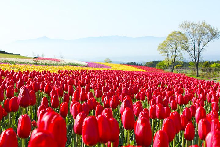 【2021年版】春の阿蘇エリアで花巡り。桜やチューリップなどが咲く絶景スポットへ