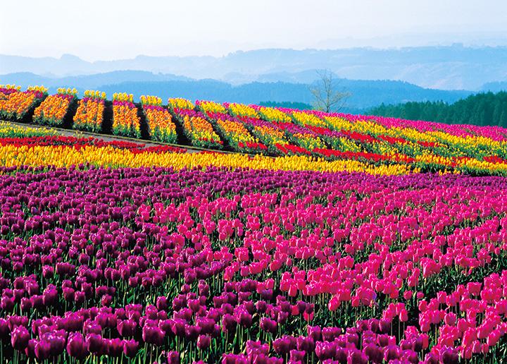 阿蘇の大自然とピンクに黄色、赤などに染まる花畑を一度に楽しめる、撮影にも絶好のスポット