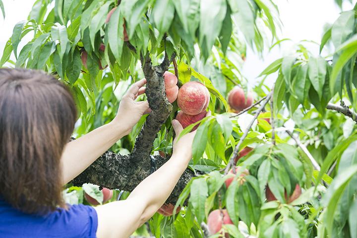 会津若松エリアで楽しめるフルーツ狩り&クラフト体験