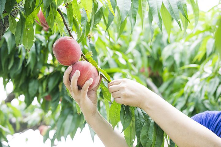 果物狩りは30分食べ放題。季節によって果物と料金が変わる