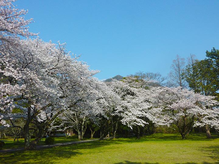 境内の裏にそびえる八雲山をバックに桜を観ることができる