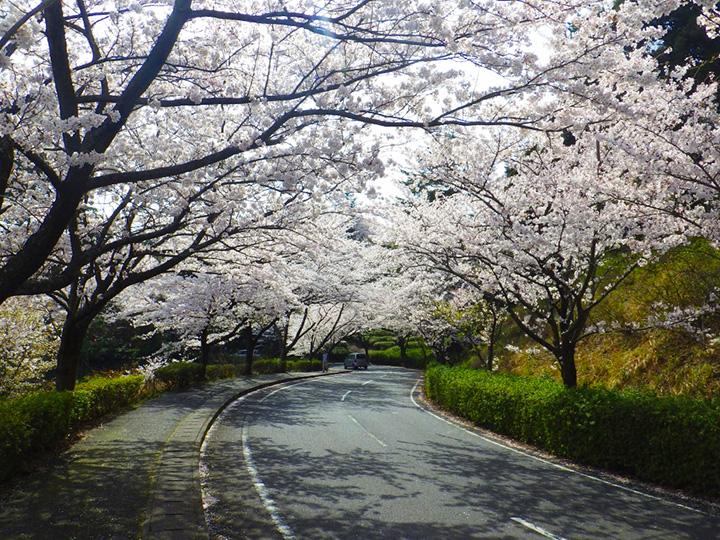 公園の入り口から桜並木がお出迎え