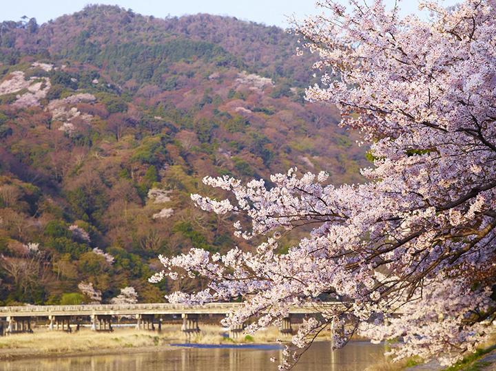 嵐山・渡月橋の桜