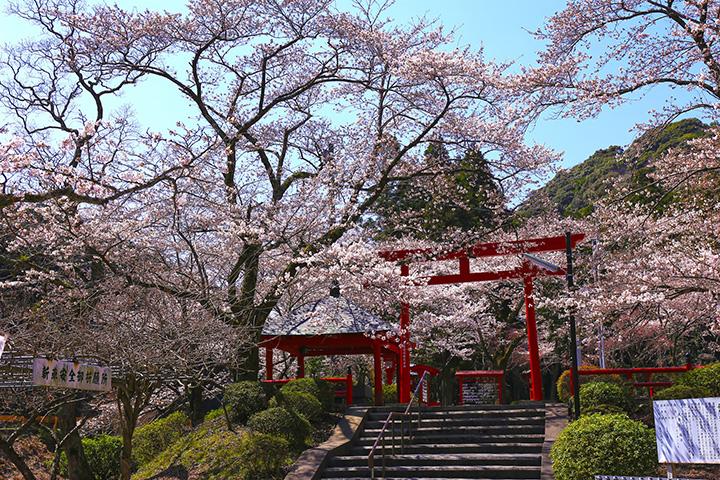 満開の桜で彩られた、境内にある「長門豊川稲荷」