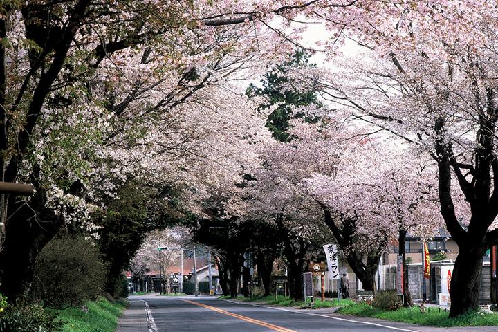 ピンクのトンネルを走り抜ける高揚感を味わえる、長く続く並木道