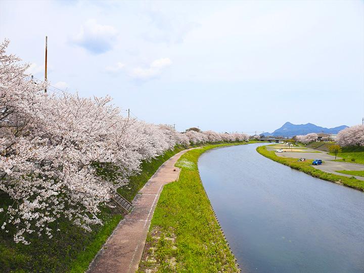 満開の桜を見上げながら、この時期だけの散歩を堪能