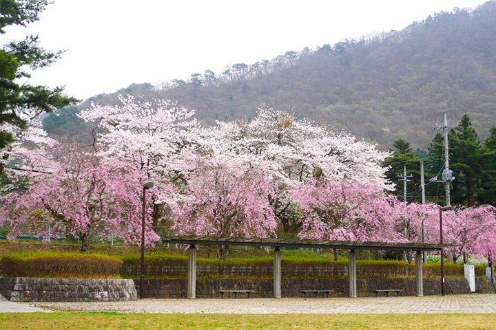 華麗なシダレザクラが咲く人気スポット