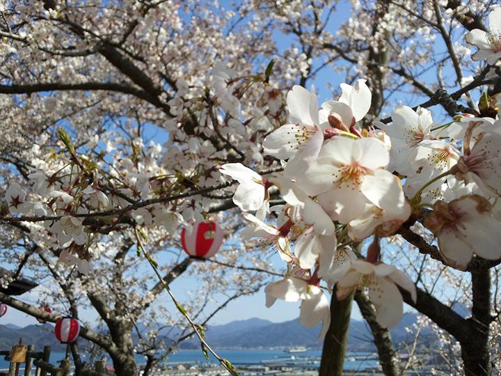 桜ごしに仙崎の街並みが見える