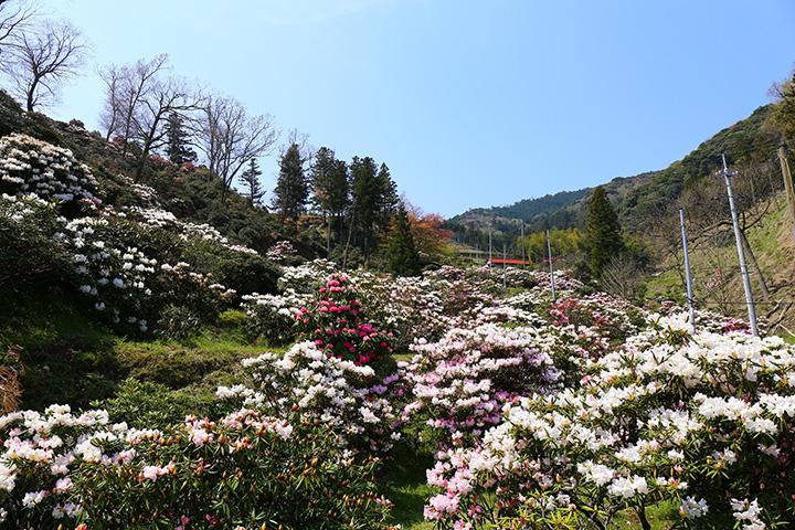 1970年(昭和45年)から植樹し続けて生まれたしゃくなげ園