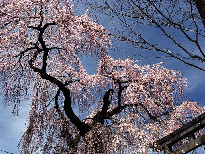虚空蔵尊(こくぞうそん)の境内に咲く、高さ18mにもなる大きなシダレザクラ