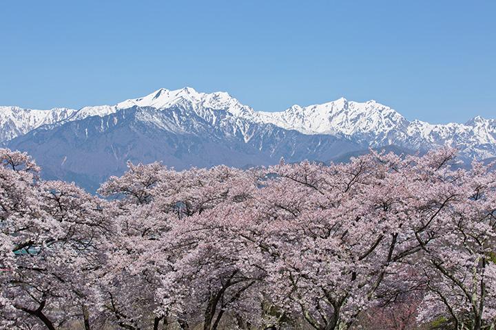 大町公園界隈には桜の名所が点在。「大町市霊園」からの眺めも素晴らしい