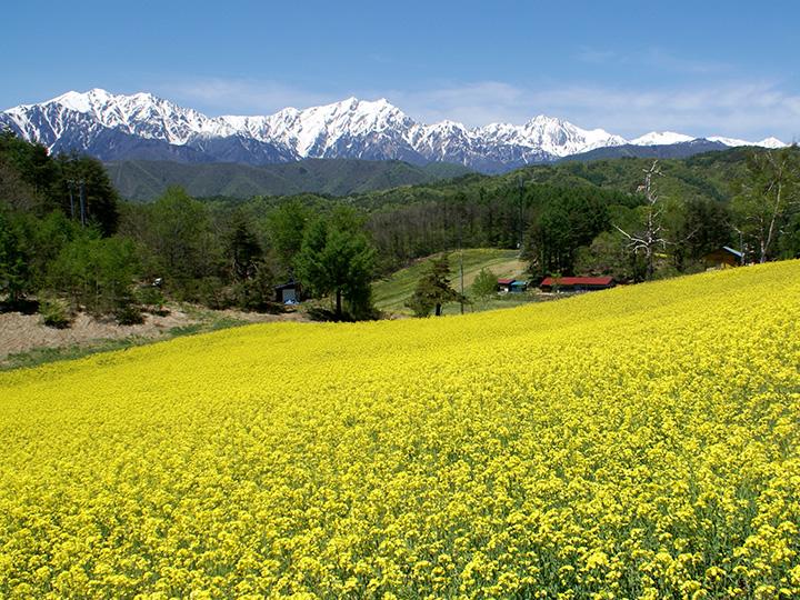黄色の絨毯が鮮やか。この畑の菜種から採れる「菜の花オイル」は大町の特産品