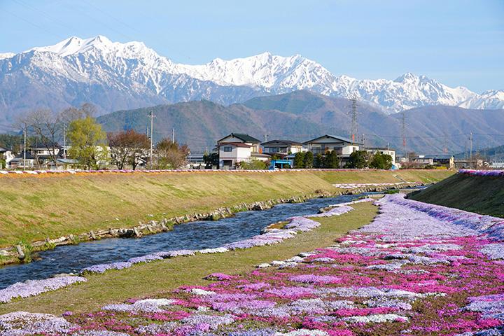 土手から階段で河川敷に下りれば、芝桜の花々を間近で眺められる