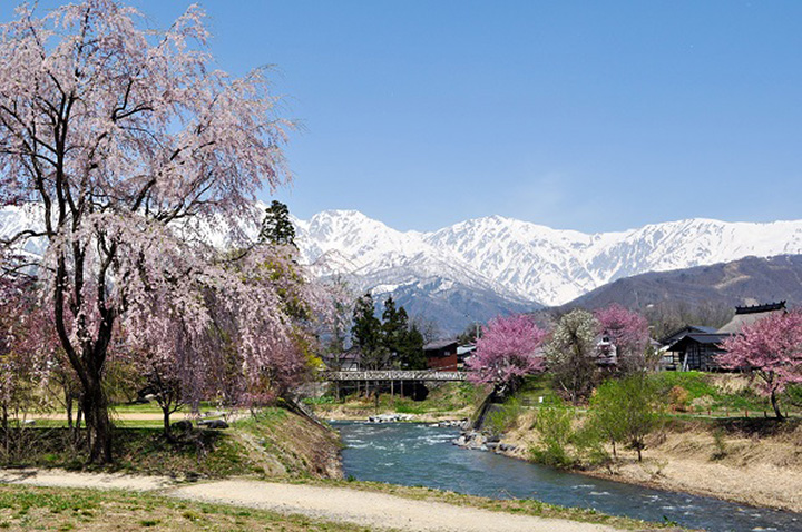 吊り橋越しに眺める桜と北アルプスの姿は圧巻