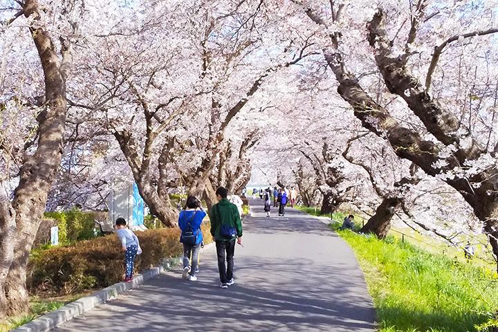 土浦橋の北側にある遊歩道を西へ進むと、桜のトンネルが。途中には、この桜並木の起源となった「道祖神社」も