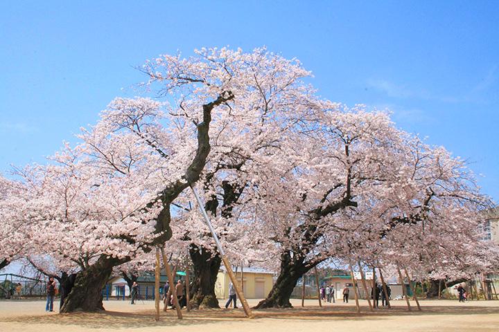 全国でも指折りのソメイヨシノの古木。傘を広げたような美しい姿で、見応え十分