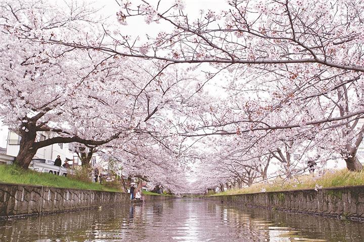 約200本のソメイヨシノが作る花の回廊。レトロな木造の橋がかかる場所もあり、のどかな雰囲気