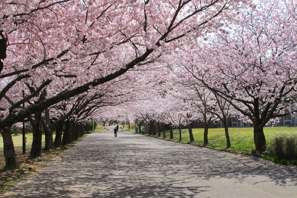 【2021年版】加賀・小松エリアの桜の名所7選