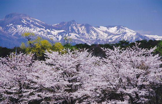 【2021年版】那須の春を彩る桜、チューリップなどのお花見名所5選