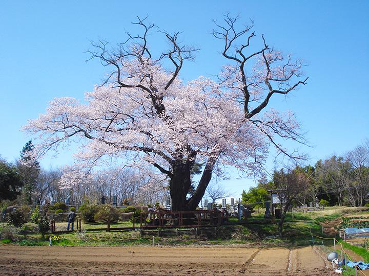 墓地に眠る人の冥福を祈るとともに、目印として植えられたといわれる一本桜