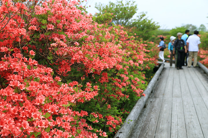 園地には一周約3.7kmの周遊コースが。ツツジに包まれながらゆっくりと散策を楽しめる
