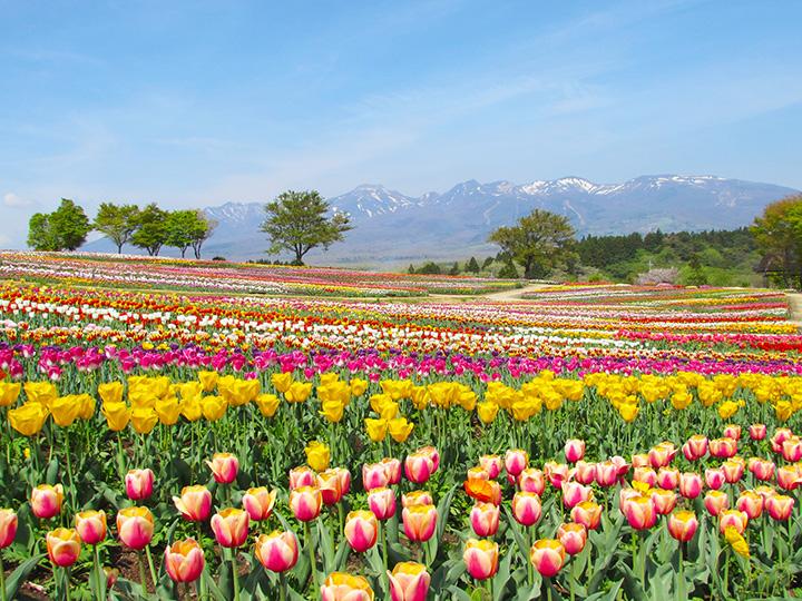 色とりどりのチューリップが咲き乱れる様は「那須花(なすか)の地上絵」と呼ばれる