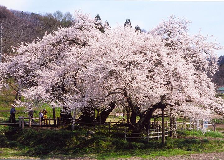 大きく広がった枝の下には木道が整備されている