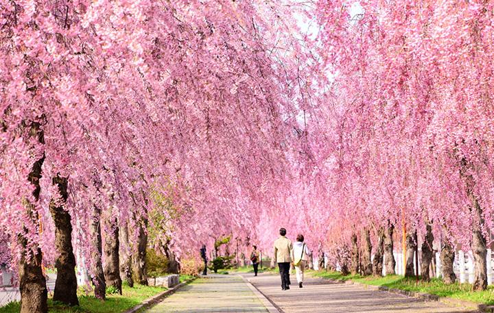 車の往来もなく、散歩しながらゆっくりお花見を楽しめる