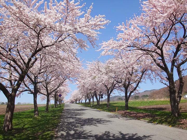牧場内を走る公道を彩る桜並木