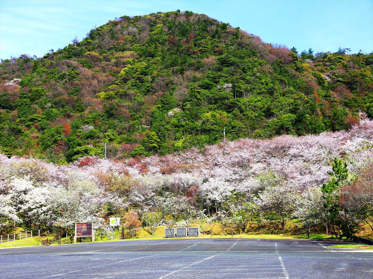 丘陵の緑にソメイヨシノのピンクが映える「青海島さくらの里」