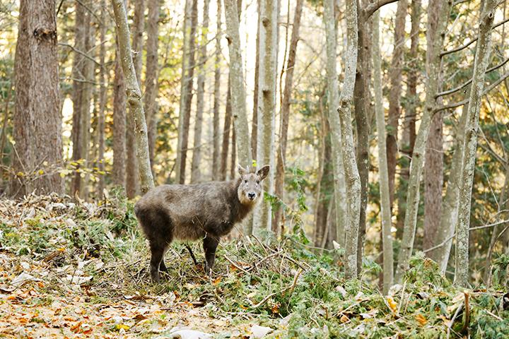 森に棲むカモシカに遭遇。大きな音を立てず距離をおいて、驚かせないように