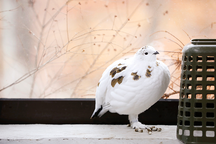 秋のライチョウの姿。冬になると、北アルプスの雪に溶け込むような真っ白な羽で足元まで覆われる