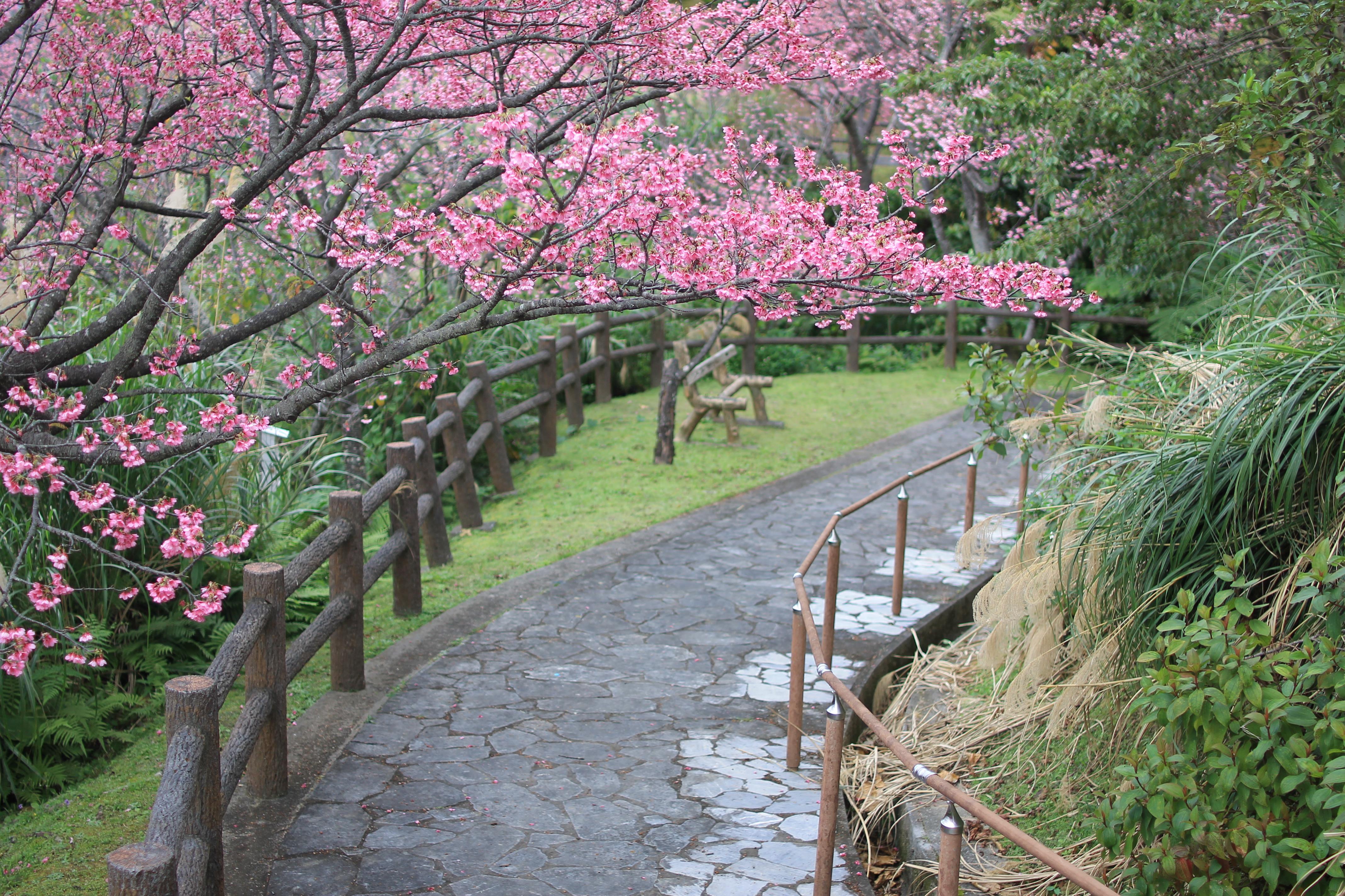 「名護中央公園」を彩る寒緋(かんひ)桜