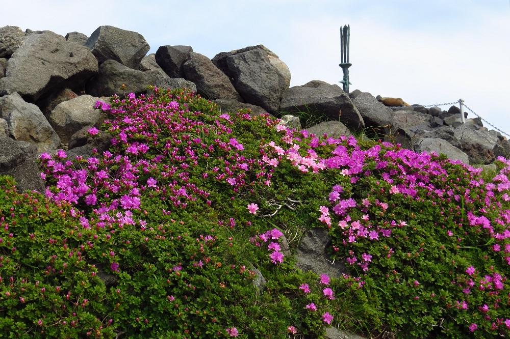 高千穂峰の山肌を彩るミヤマキリシマ。頂上には「天の逆鉾(さかほこ)」が立つ