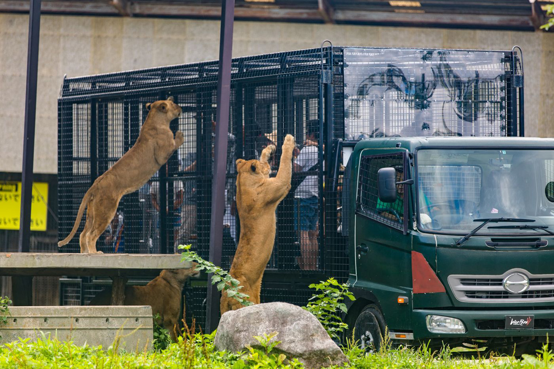 ライオンの息づかいを間近で感じる「ワイルドライド」のエサやり体験 ©️那須サファリパーク