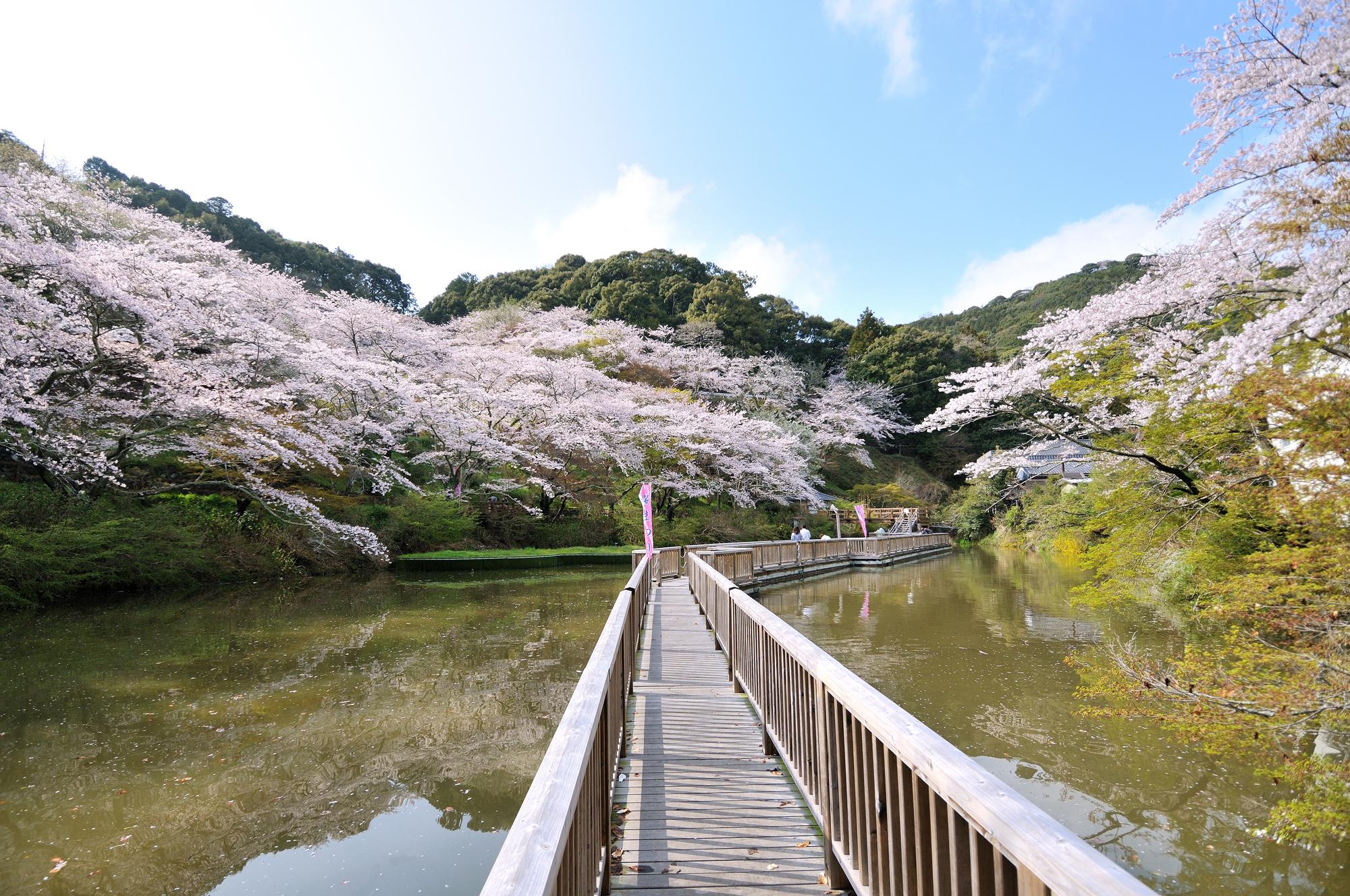 晴れた日には水面に桜が映り込む