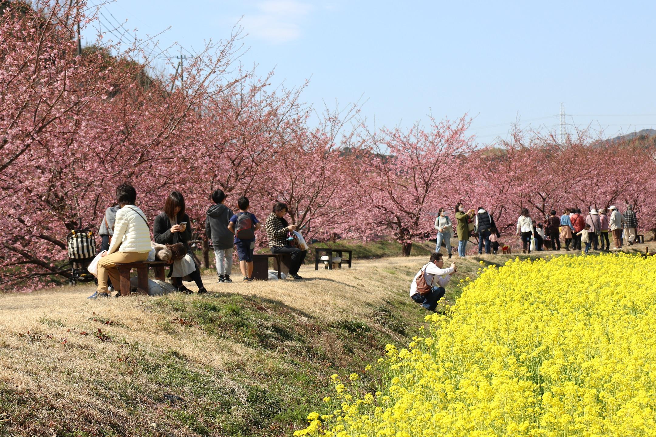 河津桜と菜の花のコントラストを楽しみに、毎年多くの花見客が訪れる