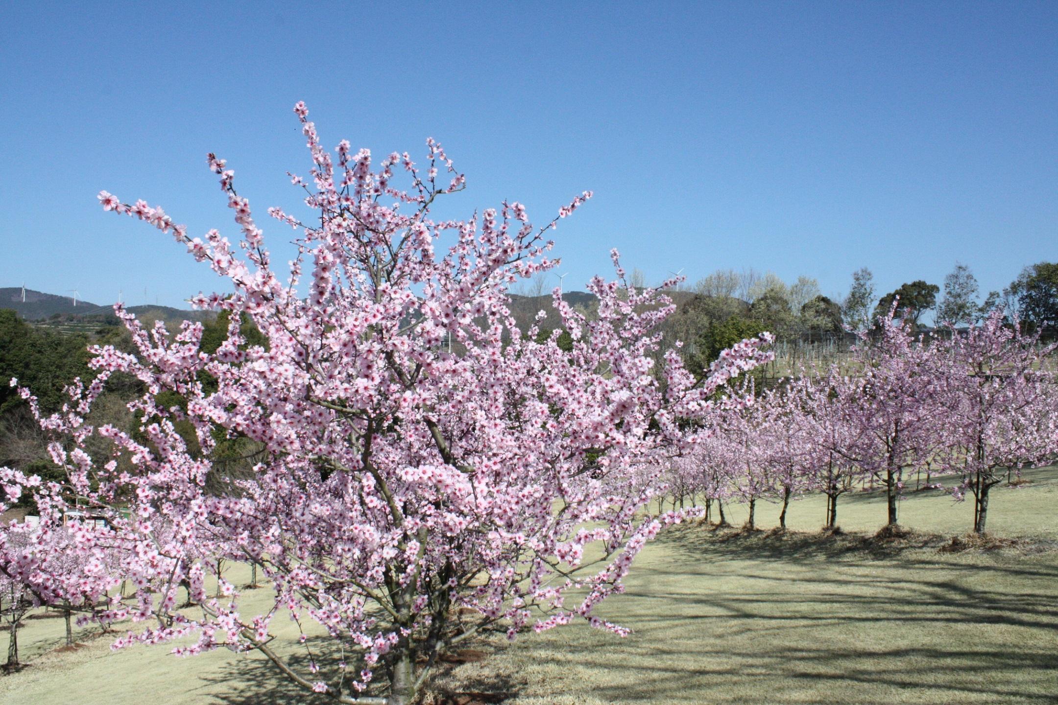 桜にそっくりの花が咲くアーモンド。花の中心が桜よりも少し赤く色づく