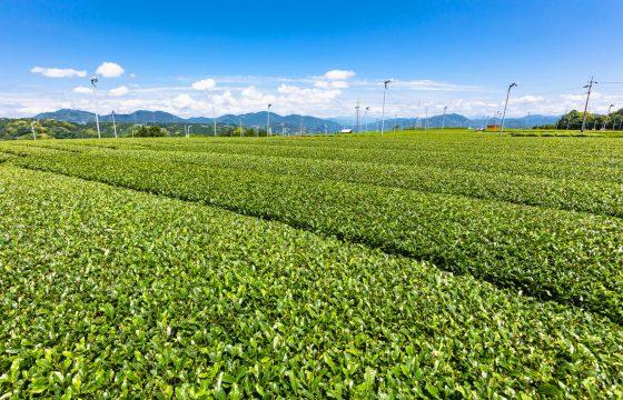 茶畑から日本茶カフェまで。静岡(浜松・島田・牧之原)でお茶を楽しめるおすすめスポット4選