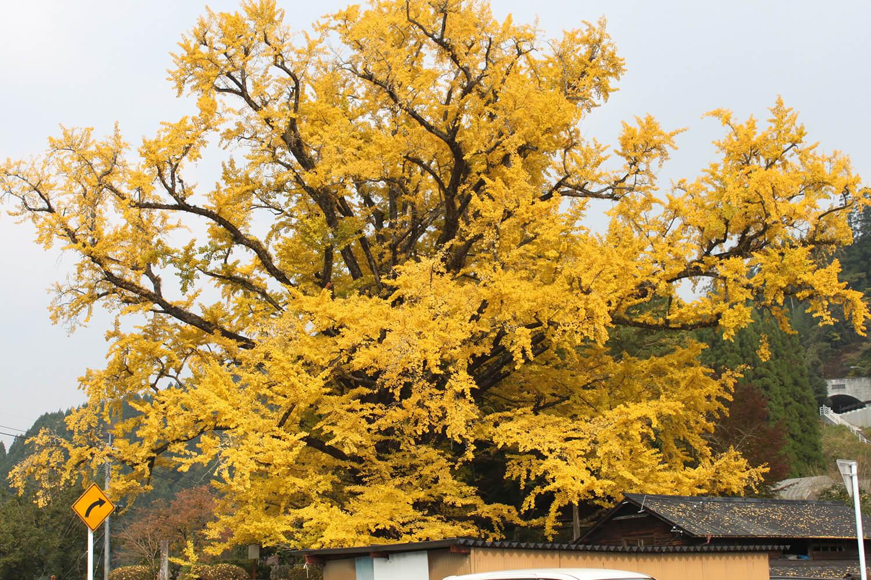 熊本県で最大のイチョウの木。地面には一面、黄色の絨毯が広がる