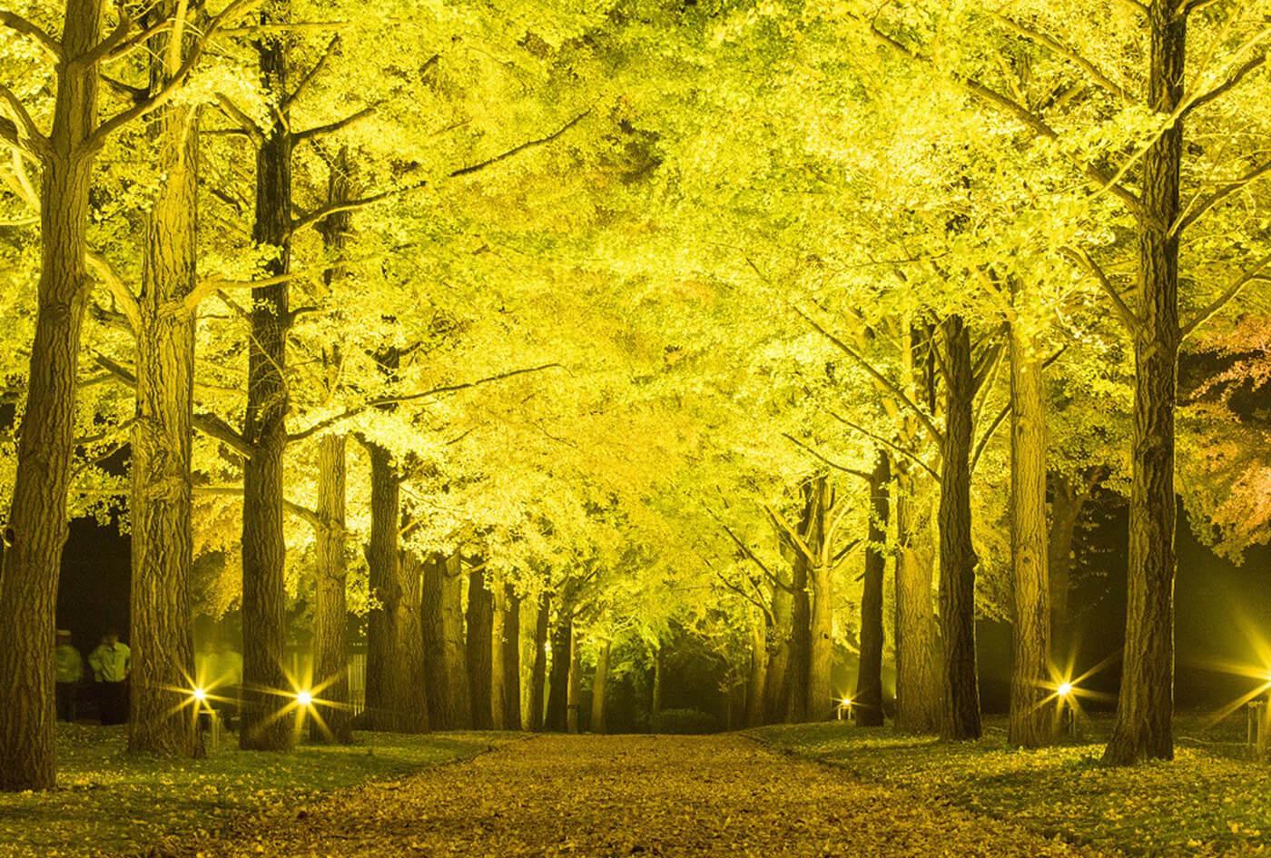 ライトアップで夜空に浮かび上がるイチョウは、昼に見るイチョウ並木とは違った趣がある