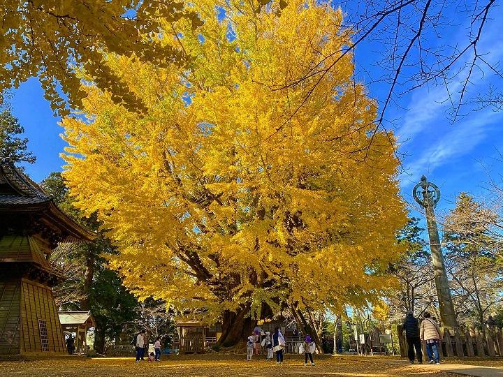 西蓮寺の2本の大イチョウは県の天然記念物にも指定されている