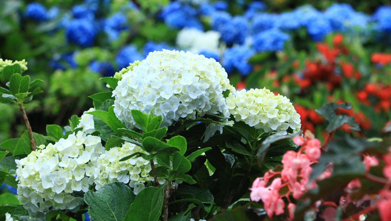 花をたわわに咲かせるアジサイは見応えがある