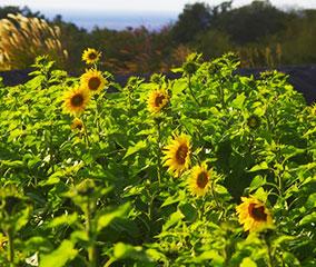 高知・西山台地に遅咲きのひまわり畑