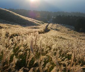 銀色に輝く、<br />箱根のすすき