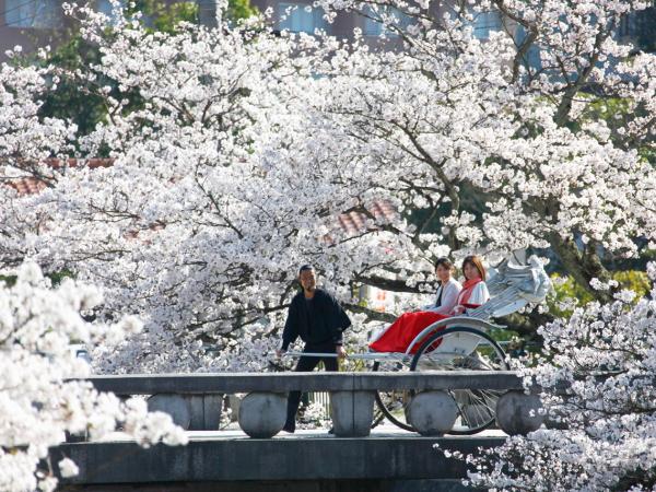 【界 出雲】温泉街の桜並木を走るお花見人力車