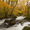 奥入瀬渓流エリアで金色に輝く森を散策 秋限定「紅葉最前線ツアー」開催