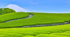 新茶シーズン到来       お茶をたのしむ旅 2016